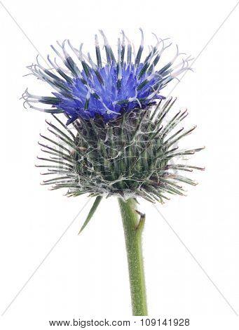 blue burdock single flower isolated on white background