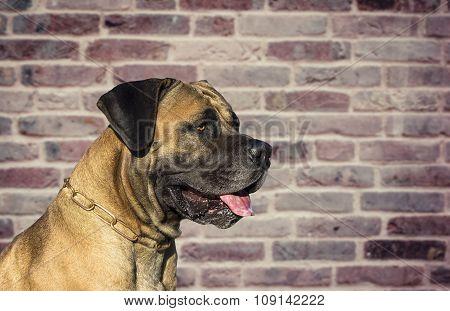 Big Dog Boerboel