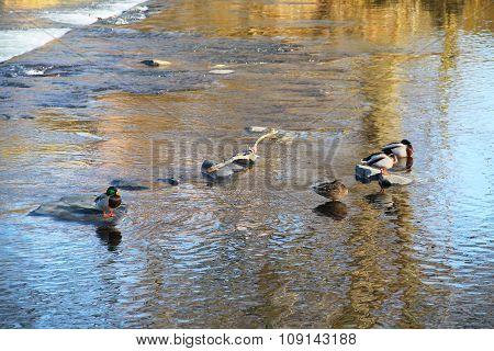 relaxing ducks