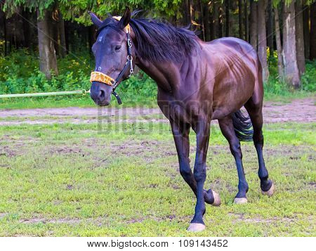 Dark brown horse running near forest