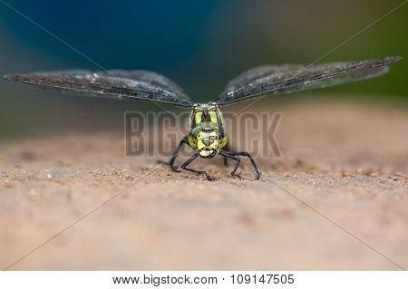 Southern hawker dragonfly (Aeshna cyanea) head-on
