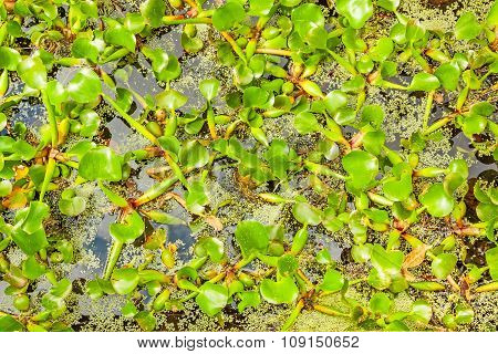 Green Water Fern In Pond, Close Up
