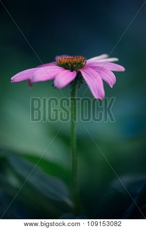 Portrait of a Coneflower
