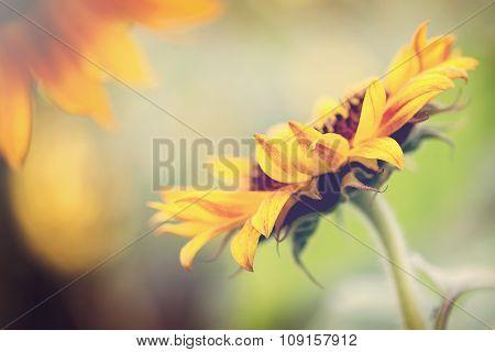 Sunflower facing the sun.