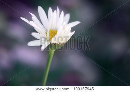 Windswept Daisy