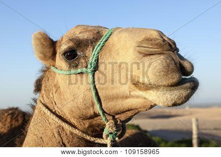 Portrait of dromedary at moroccan desert