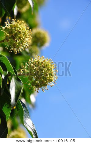 Flowering Ivy (hedera Helix)