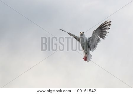 Flying One Seagull Isolated On The White Sky.