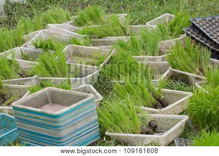 Young Rice Sprout Ready To Growing