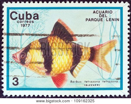 CUBA - CIRCA 1977: A stamp printed in Cuba shows a Tiger barb fish (Barbus tetrazona)