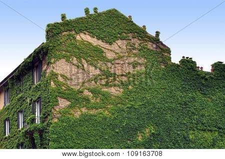 Green ivy on a wall of an old building
