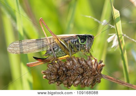 Roesel's bush-cricket (Metrioptera roeselii)
