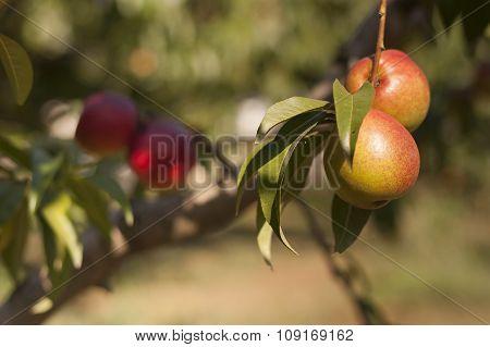 Bio Red Peach