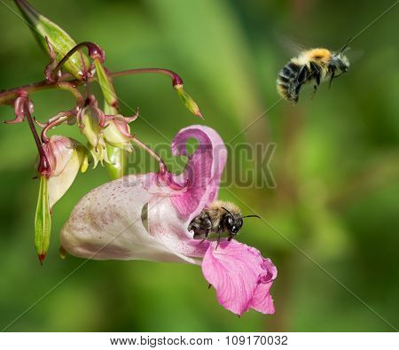 Common carder bumblebees (Bombus pascuorum) nectaring on balsam