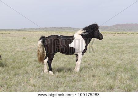 Piebald stallion