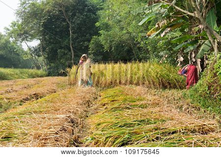 Rural Indian Women Are Harvesting Rice Paddiy In Pingla Village, India