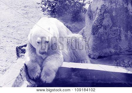 Polar Bear On Vacation