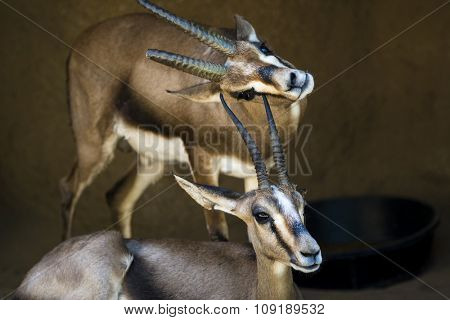 Two gazelles rest in a shaded area while one scratches its chin on the horn of another gazelle.