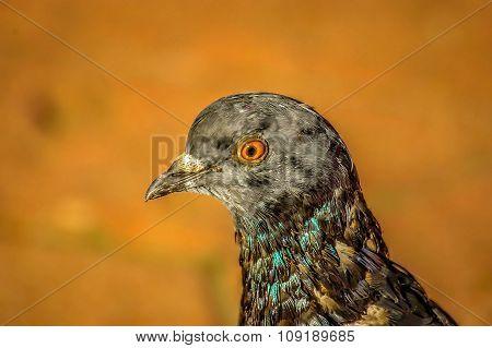 Head Of Pigeon.