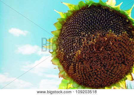 mature sunflower close up