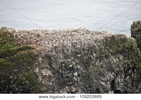 Northern Gannet, Morus Bassanus, Colony