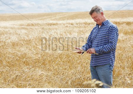 Farmer In Wheat Field Inspecting Crop