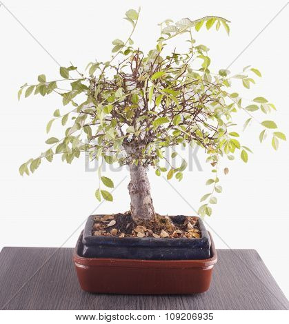 Bonsai Over Table