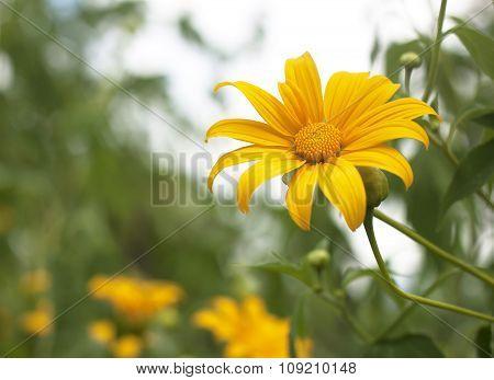 Yellow Tithonia Diversifolia Flowers Field In Thailand