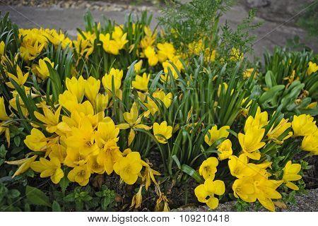 Crocus Angustifolius - Saffron