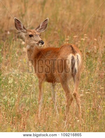 A portrait of a female Mule Deer all ears.