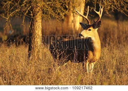 Deer Buck Looking Back