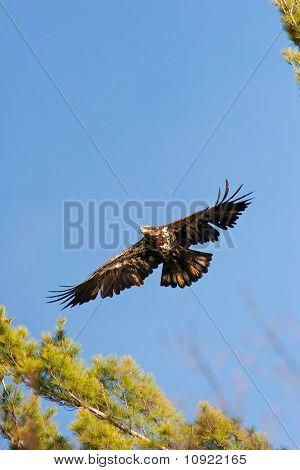 Wild Immature Bald Eagle In Flight