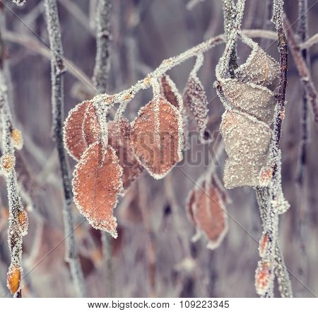 Plant covered with frost, hoarfrost or rime in winter morning