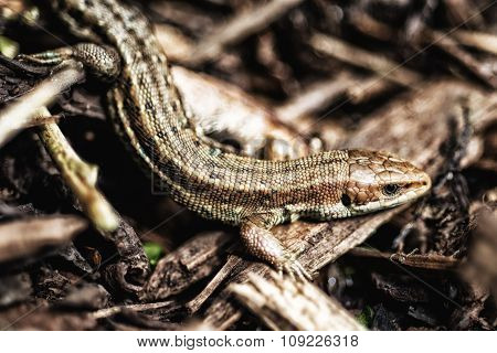 Lizard in the undergrowth