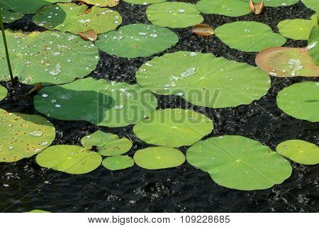 Water Lily Leaves In Rain Drops