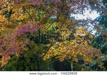 Backyard Japanese Maple 3