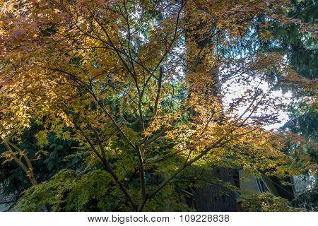 Backyard Japanese Maple 5