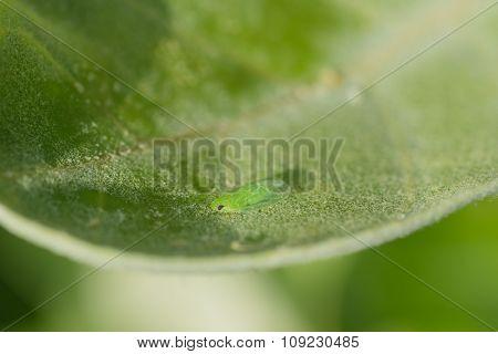 Leaf Hopper Macro
