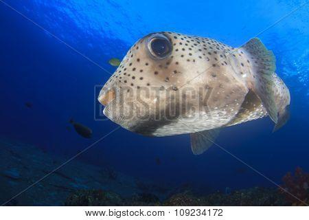 Porcupinefish Burrfish