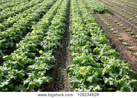 radishes growing field