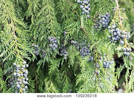 Beautiful cypress branches with fruits in Ireland.