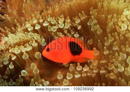 Tomato Clownfish Anemonefish Nemo fish