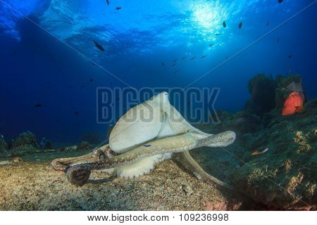 Reef Octopus in ocean
