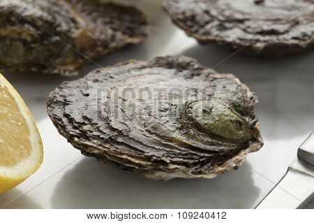 Fresh European flat oyster close up