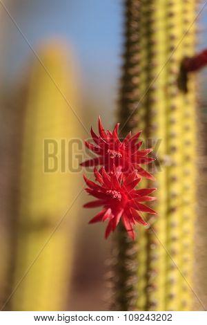 Red flower on a Cleistocactus samaipatanus cactus