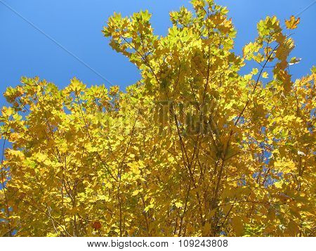 Yellow Maple Leaves and Vivid Blue Skies