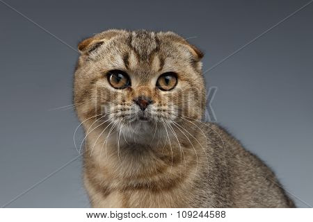 Closeup Portrait Of Scottish Fold Cat Looking In Camera On Gray