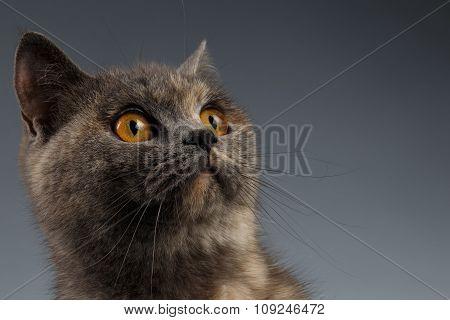 Closeup Portrait Of Scottish Cat Looking Up On Gray