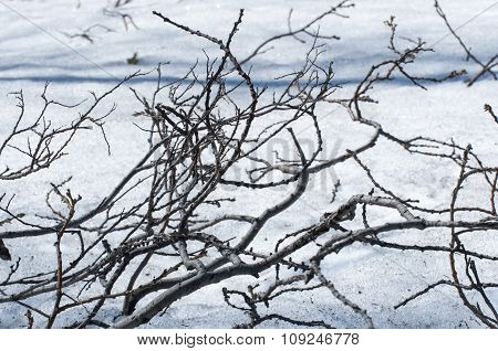 Branches On Snow