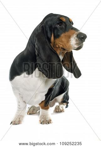 Young Basset Hound